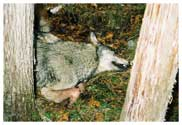 This is the gray wolf as we discovered her in Iron County about 8:30 A.M., 16 November, 2005